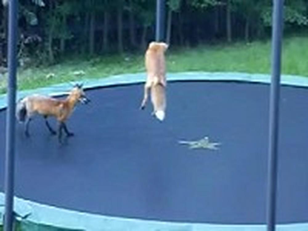 Super Cute Foxes Discover the Fun of a Trampoline