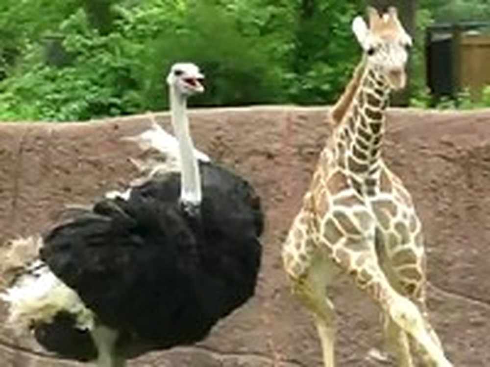 Baby Giraffe Plays Tag with an Ostrich