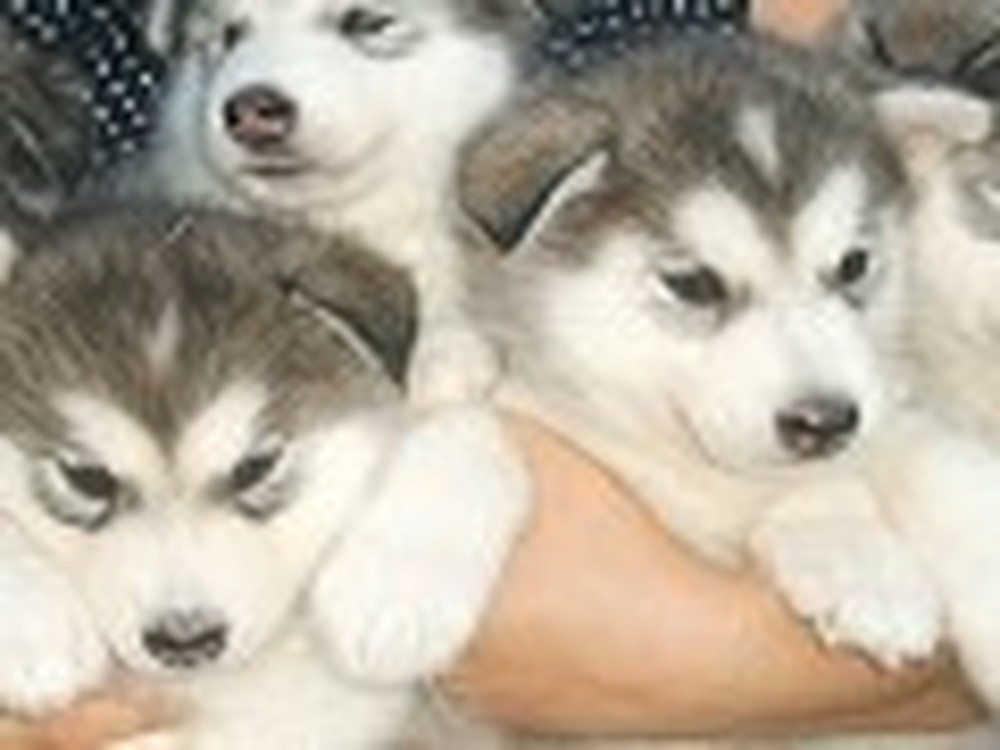 An Armful of Malamute Puppies are Cute