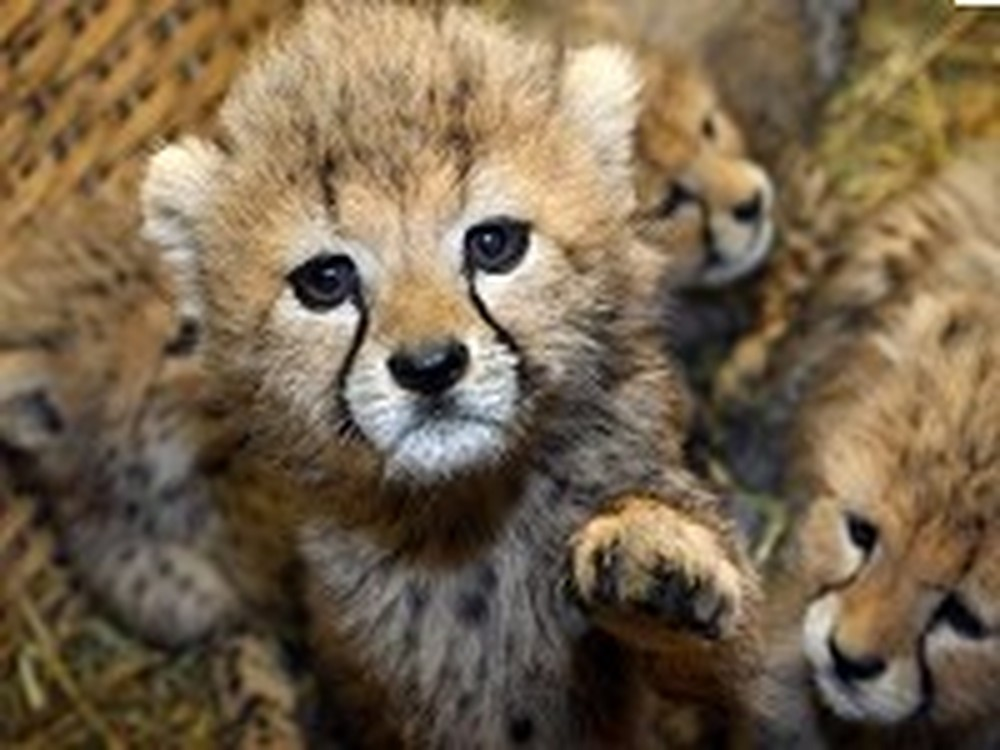 Adorable Cub in Need Gets Adopted by Another Cheetah