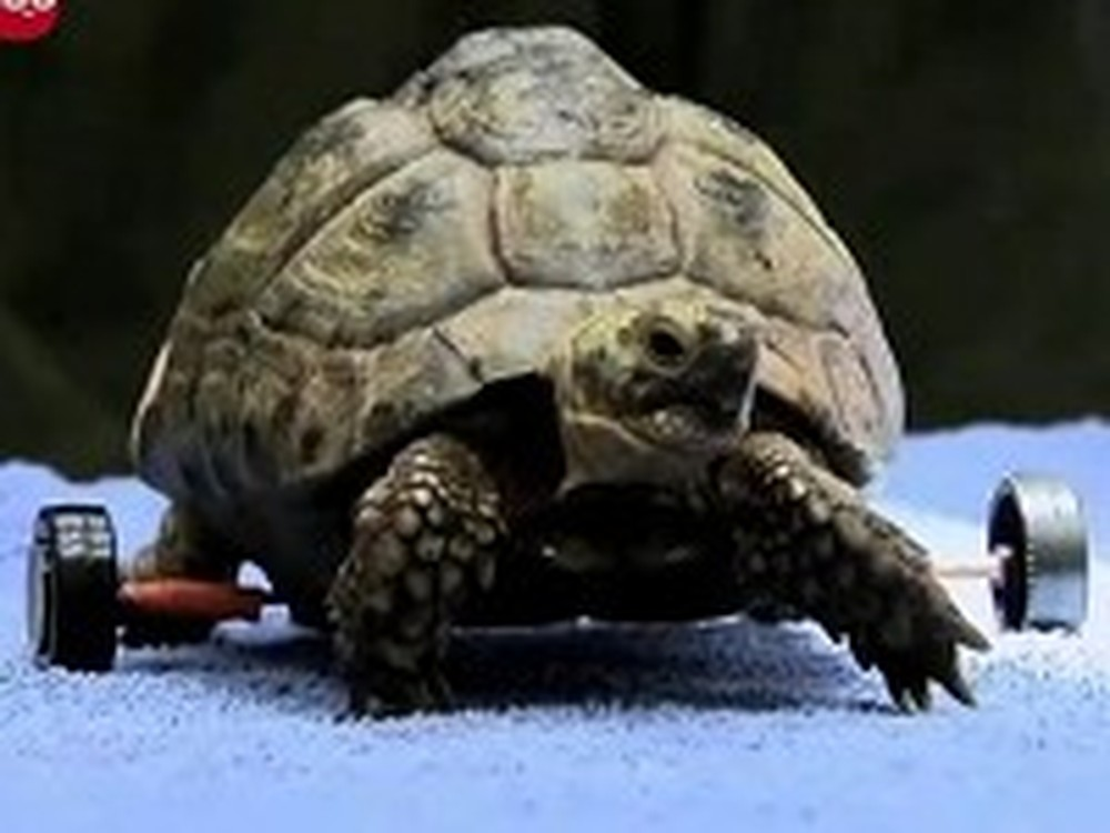 Turtle Gets a Set of Wheels After a Bad Accident