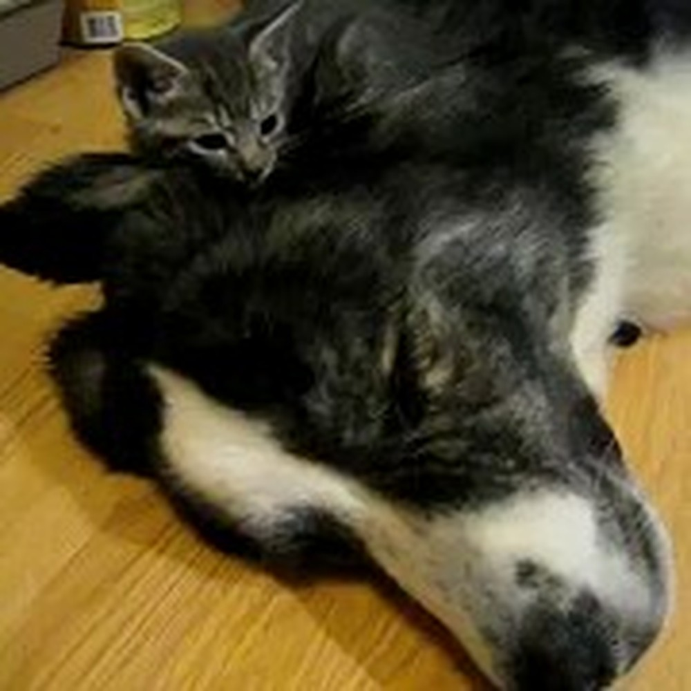 Two Kitties Take a Nap on their Big Doggy Friend