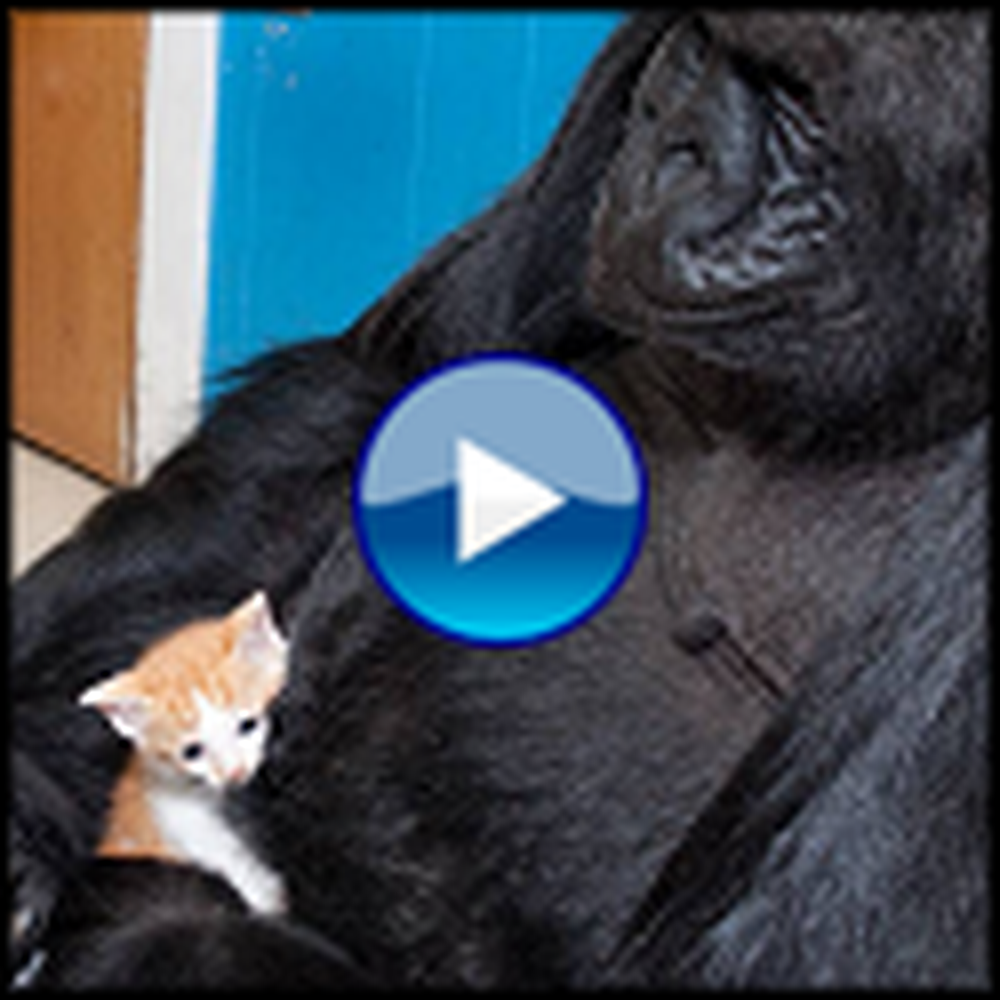 Koko the Gorilla Cries Over the Loss of a Kitten - Heartbreaking