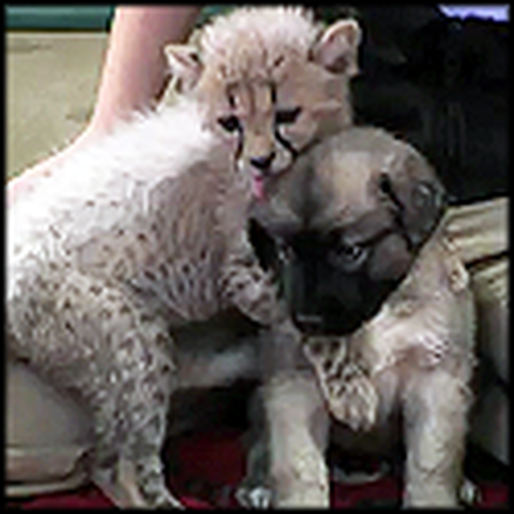 Baby Cheetah and Puppy are Best Friends