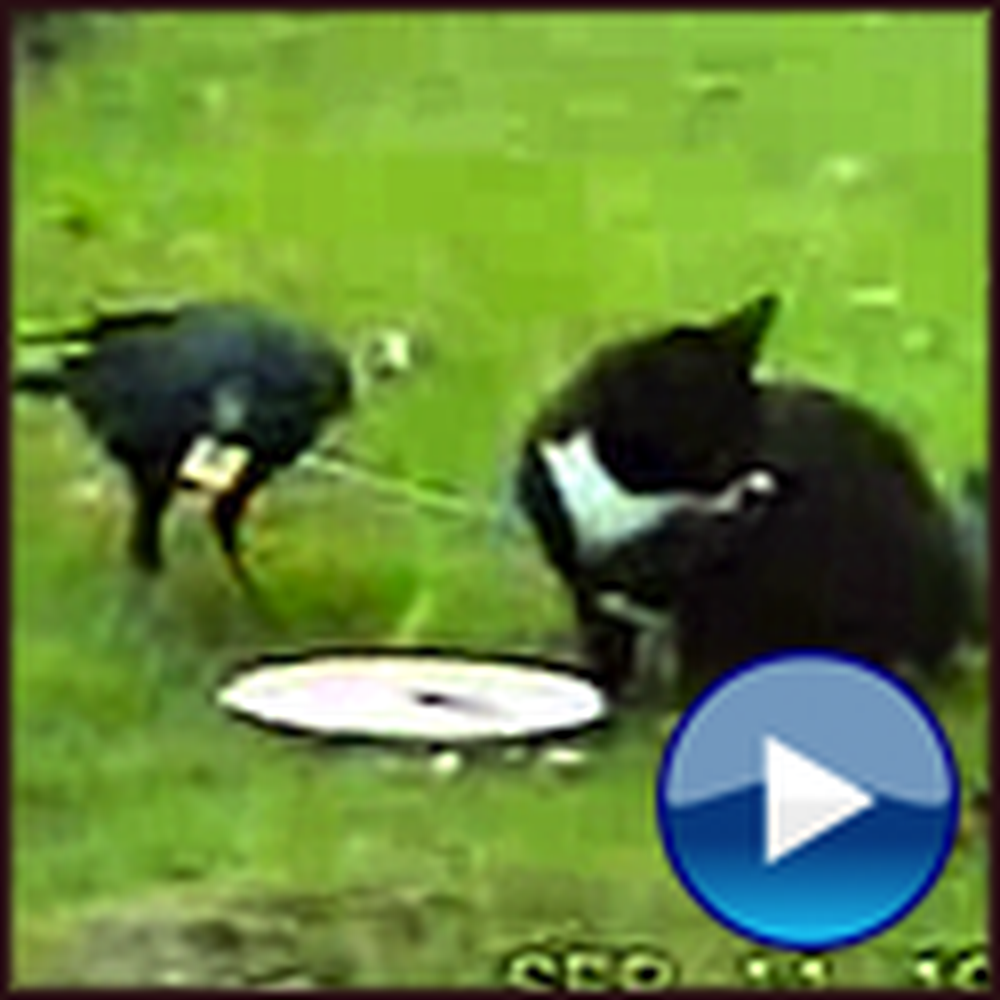 Cat and Crow Make Unlikely but Heartwarming Best Friends