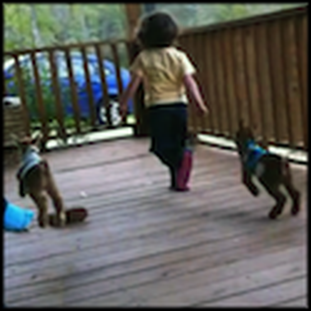 Little Girl Plays with Two Baby Goats Wearing Sweaters