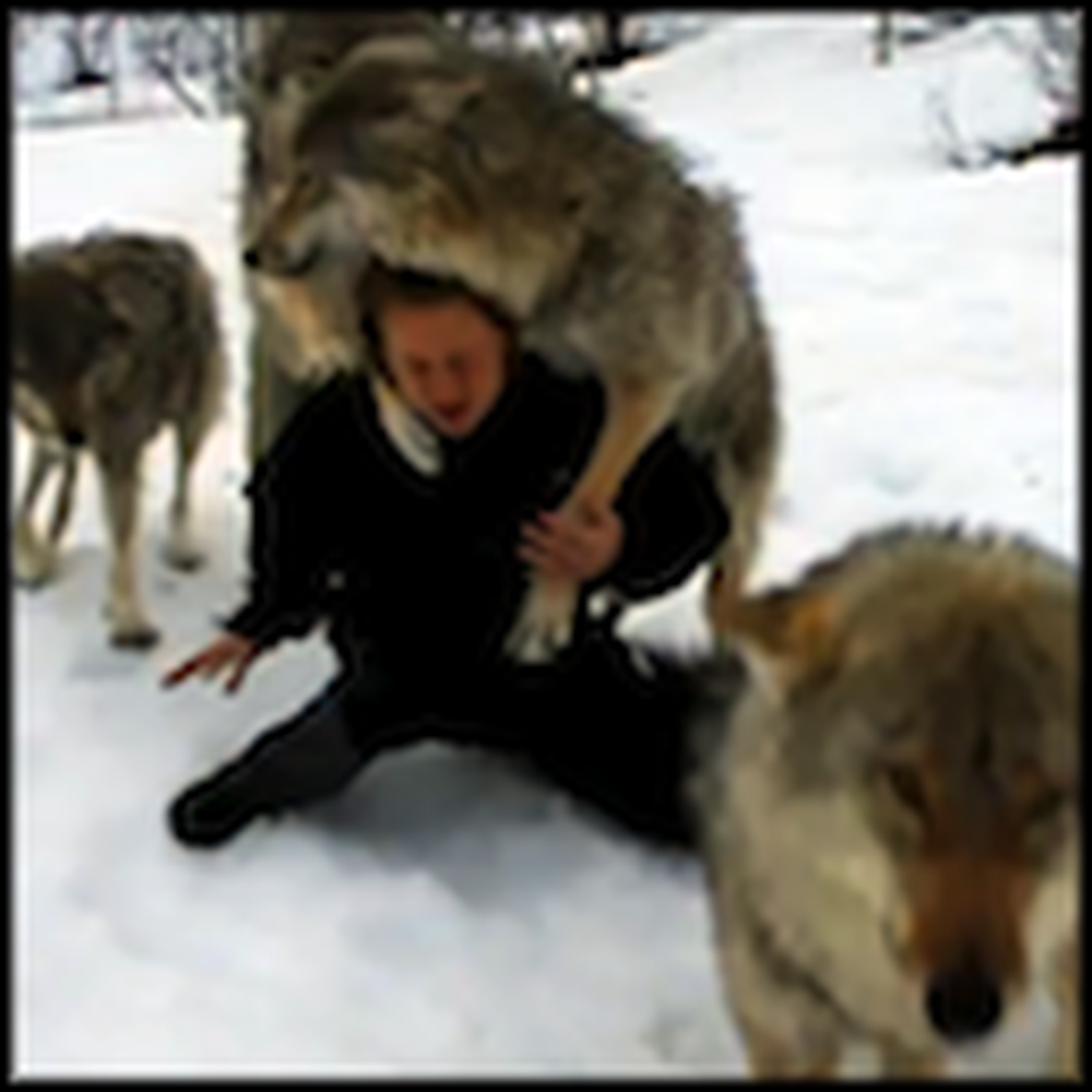 Woman Reunites with the Wolves She Socialized - Awesome