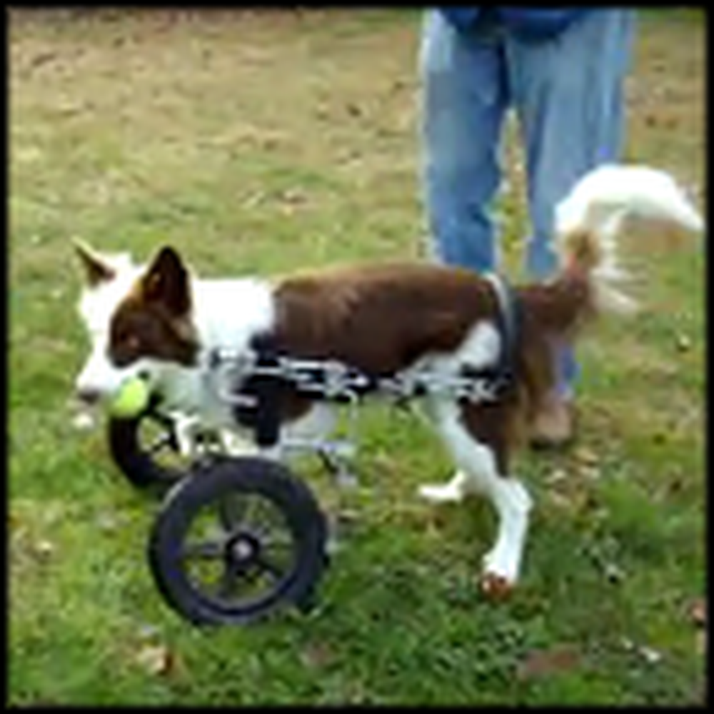 Rescued Border Collar with Deformed Front Legs Races Around with his Cart