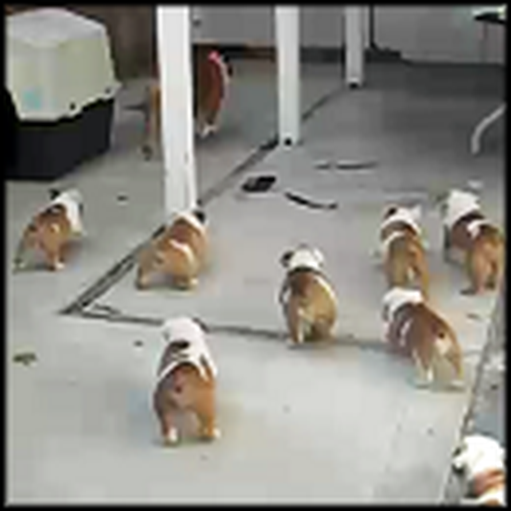Adorable Herd of Bulldog Puppies Chase Their Mom