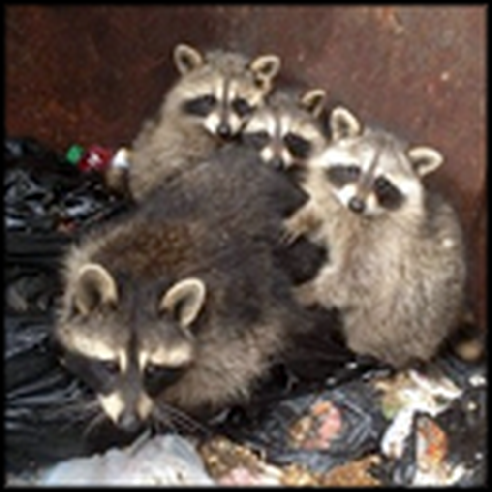 This Raccoon Rescue Will Restore Your Faith in Humanity