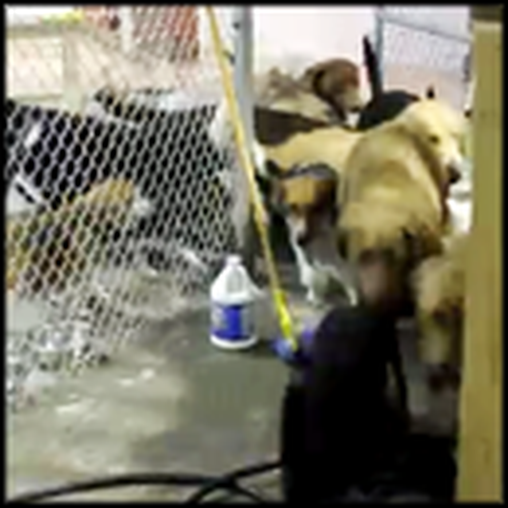 Yellow Lab Breaks her Dog Buddies Out of a Cage - So Cute