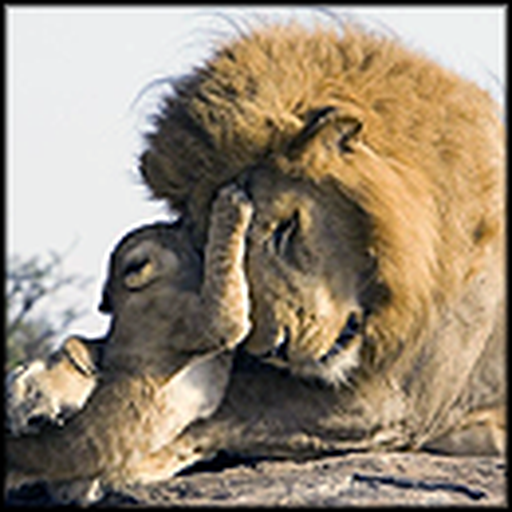 What Happens When a Lion Cub Meets His Father
