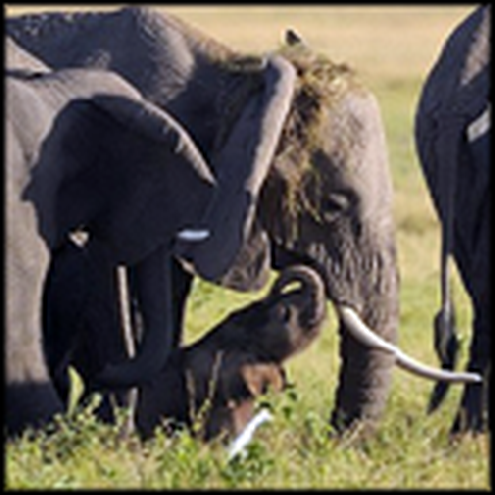 Herd of Elephants Lovingly Protect One Mother to Be