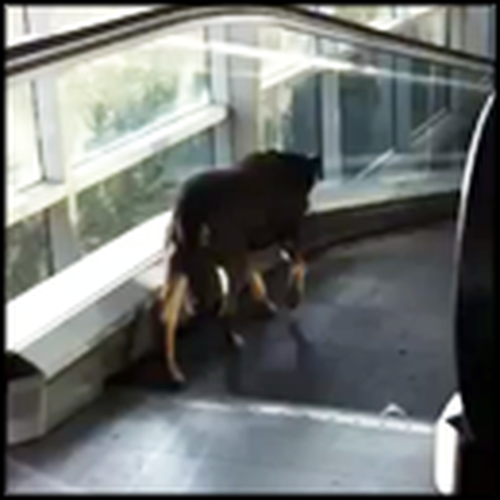 Dog Versus Escalator - Watch the Neverending Cuteness