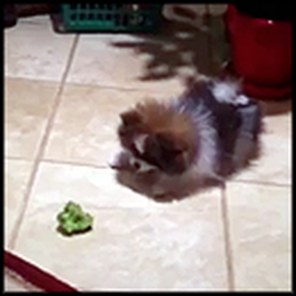 Adorable Pomeranian Puppy Doesn't Trust a Piece of Broccoli
