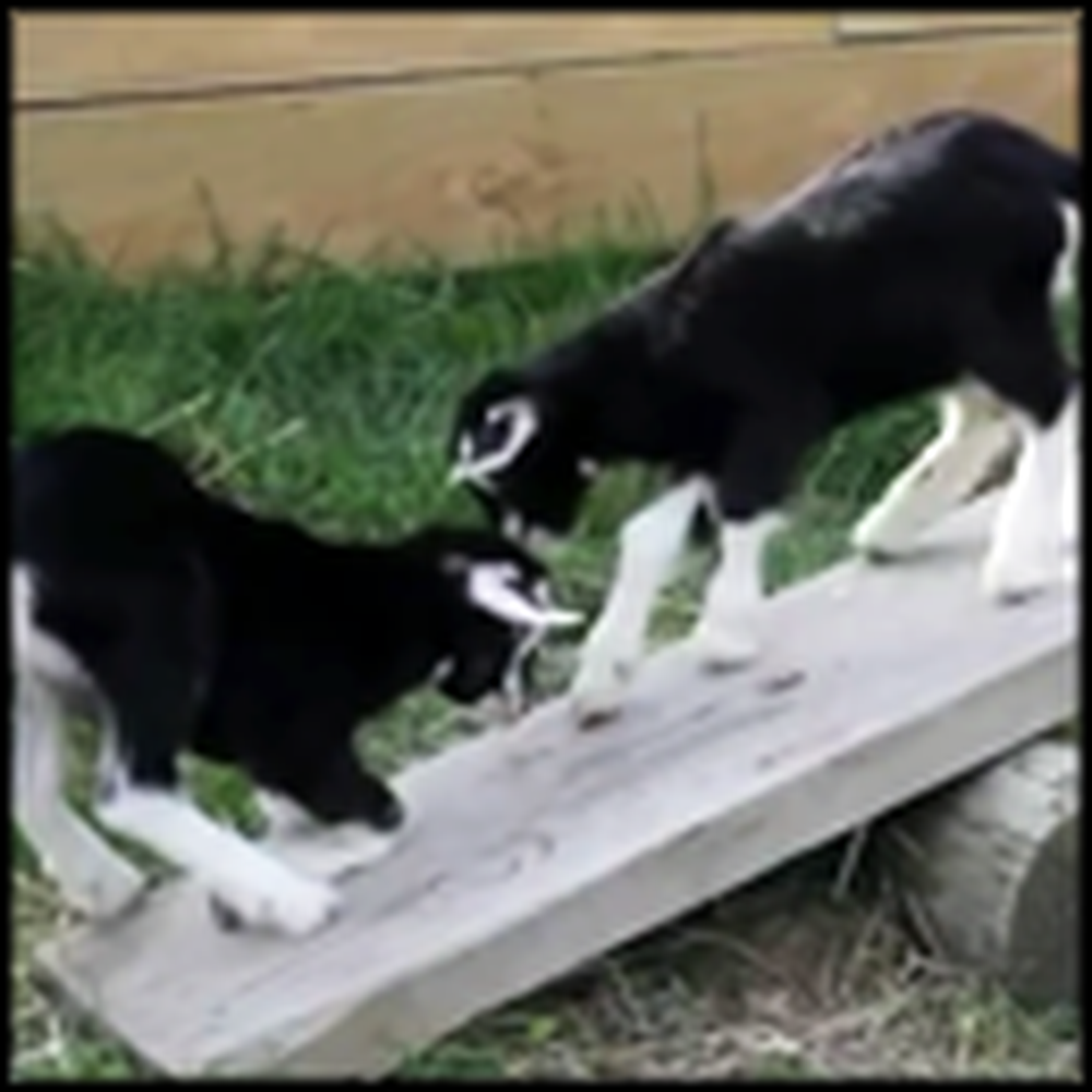 One Day Old Baby Goats Discover a See Saw - Aww
