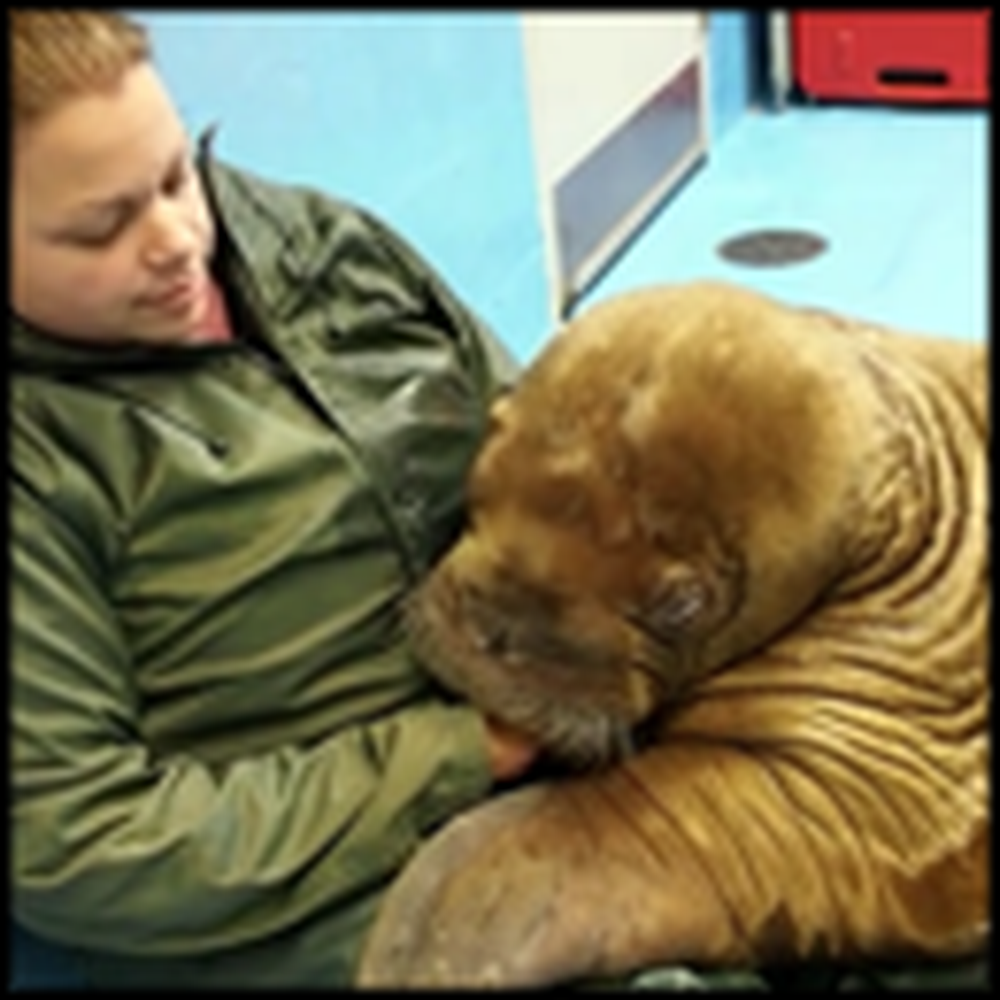 The Rescue of 2 Adorable Orphaned Walruses