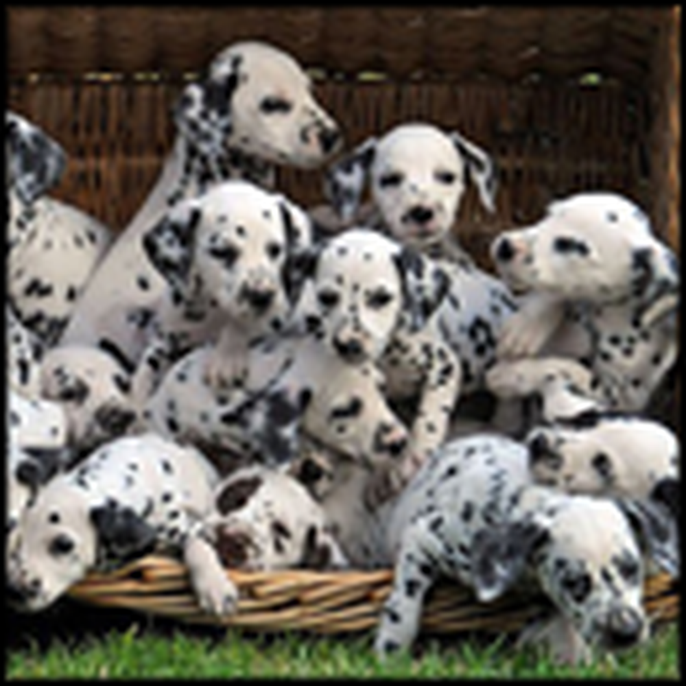 One Dog has 16 Adorable Puppies - Just Like a Disney Movie