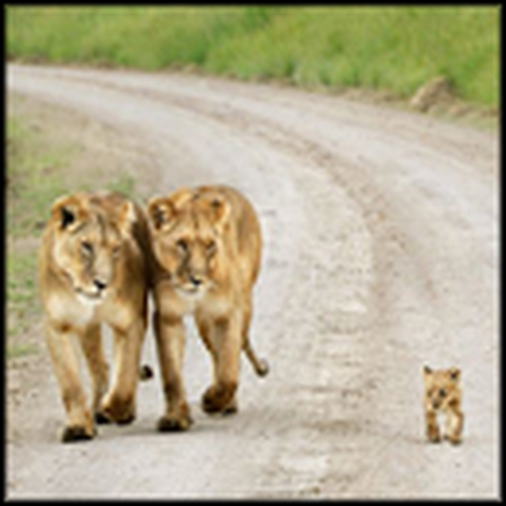 Cute Lion Family Goes for a Walk Together
