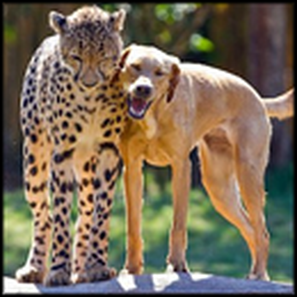 Cheetah and Dog are Raised as Brothers - and Best Friends