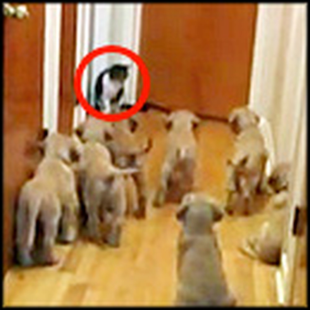 Stampede of Adorable Puppies Take on a Cat