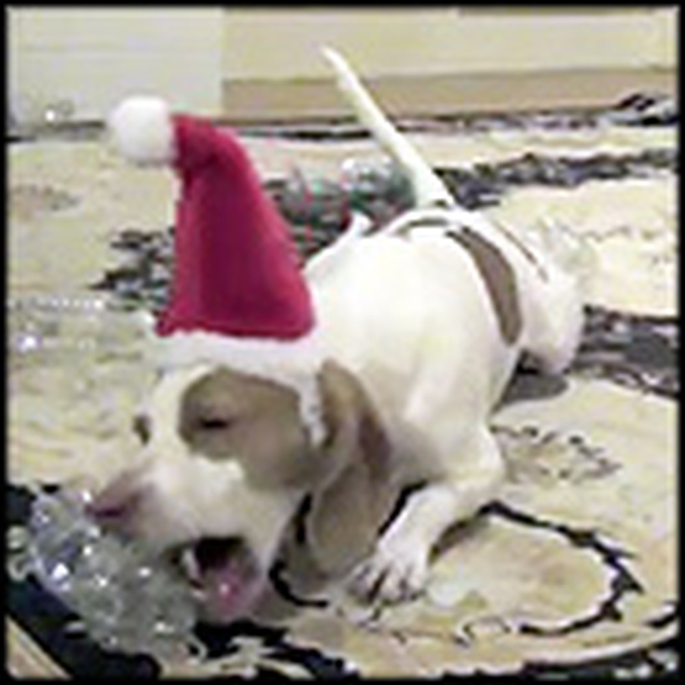 Dog Has the Best Time Playing With His Christmas Present