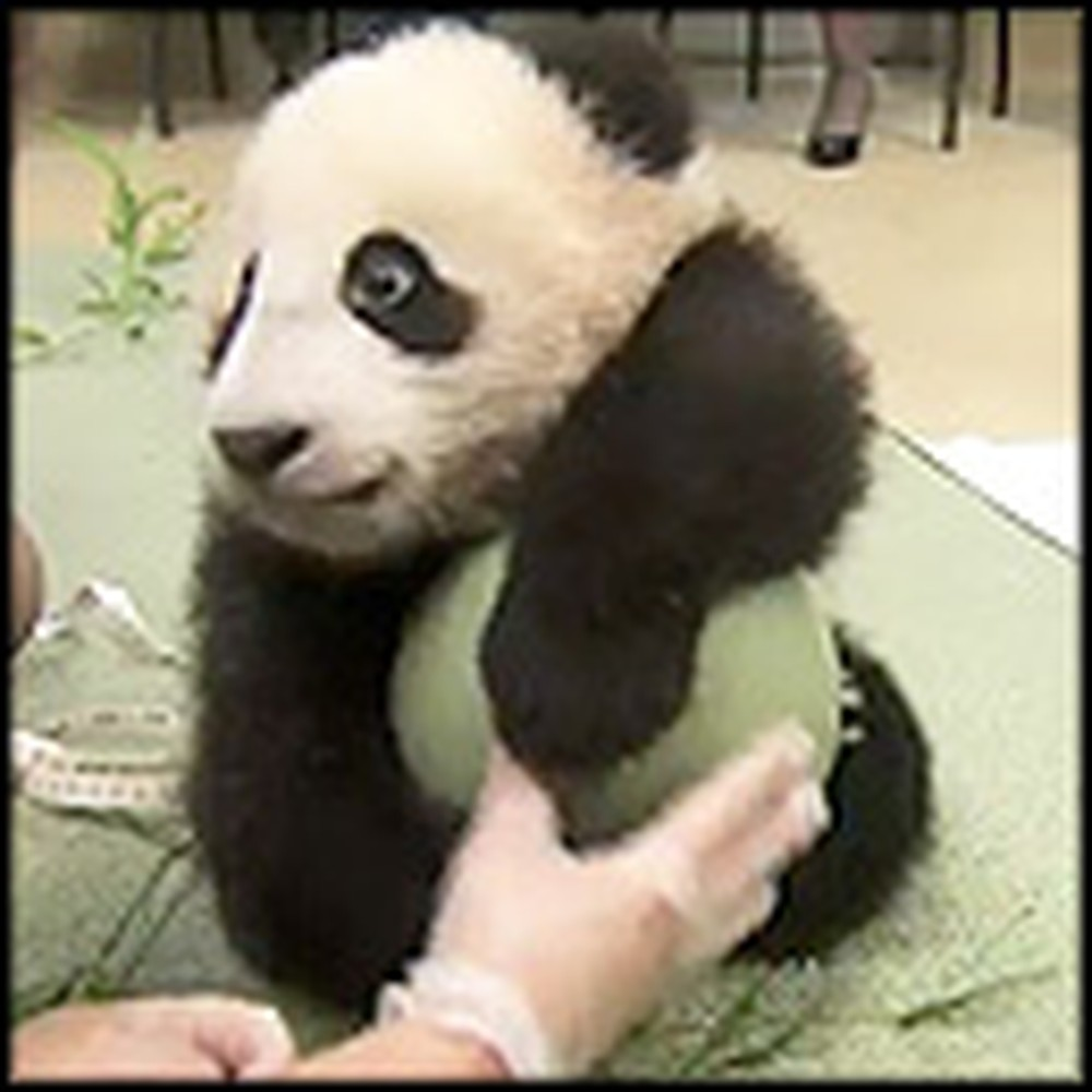Rare Footage of a Newborn Panda Bear Playing