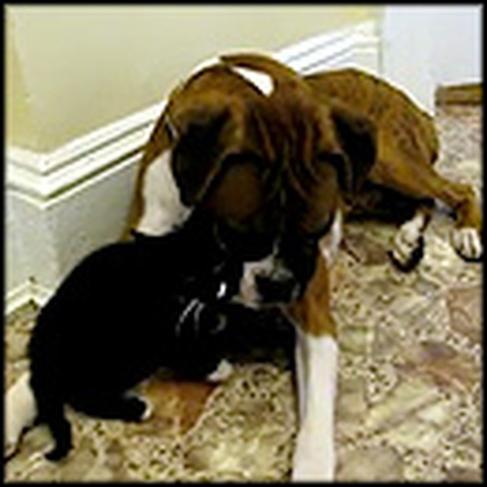Boxer Meets a Kitten for the First Time