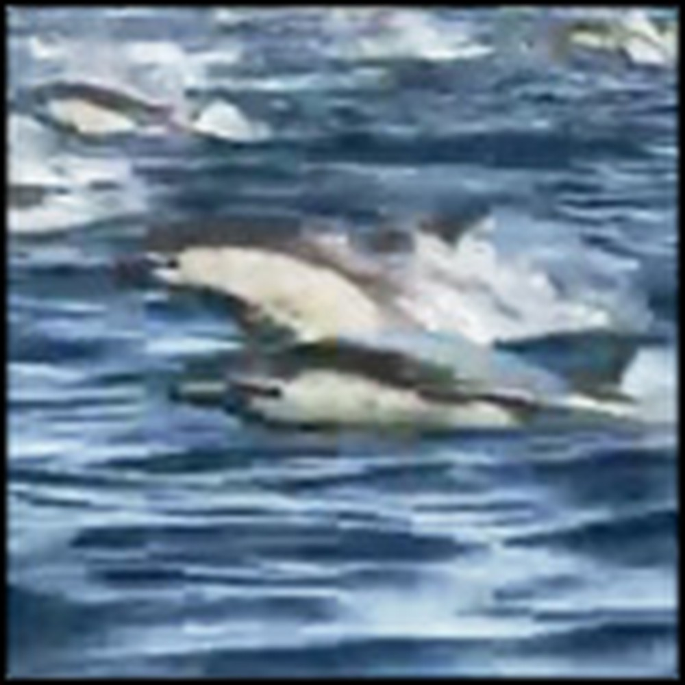 Stampede of Dolphins is an Amazing Display of God's Creation