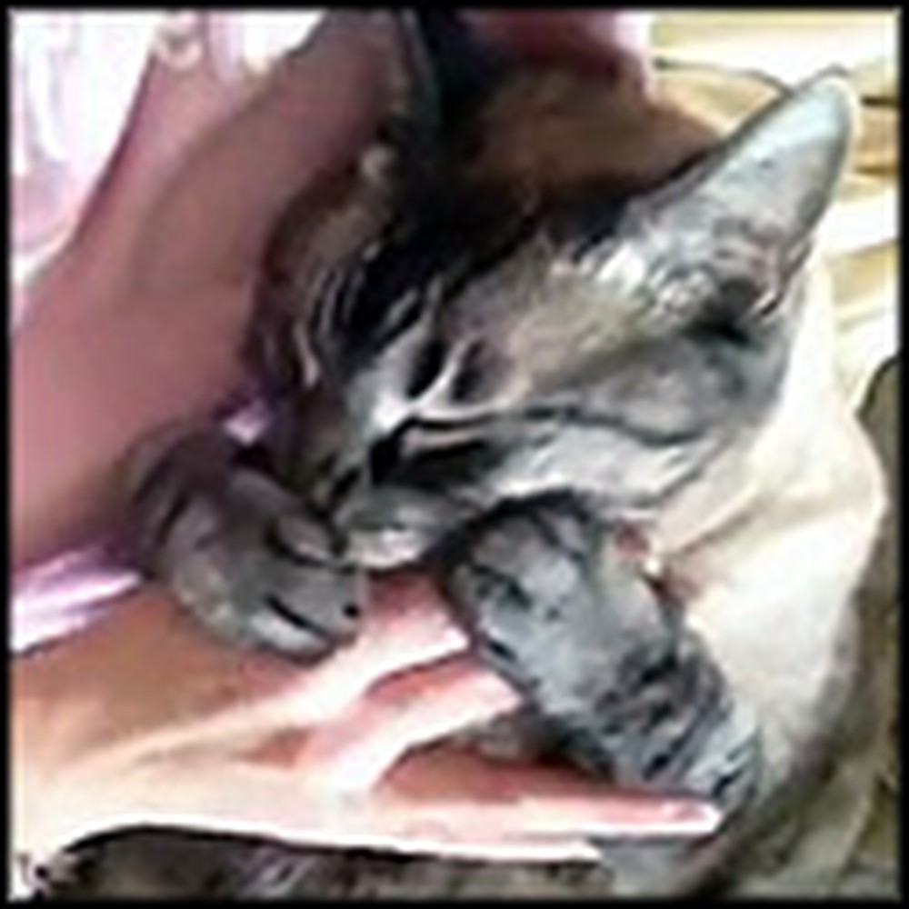 Cat Does the Sweetest Thing When it Wants to be Pet