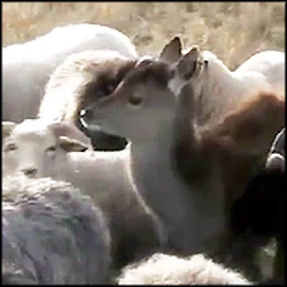 Flock of Sheep Adopts a Lonely Deer
