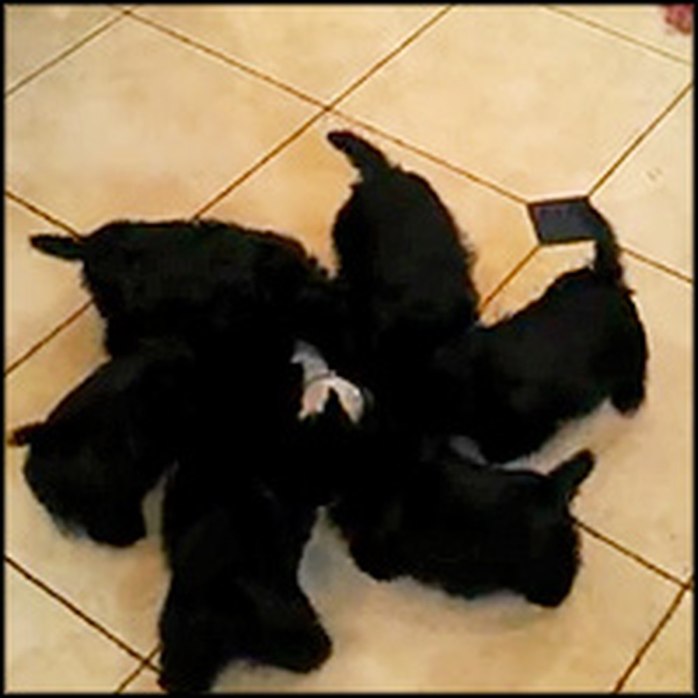 Scottie Puppies Do the Cutest Thing During Feeding Time