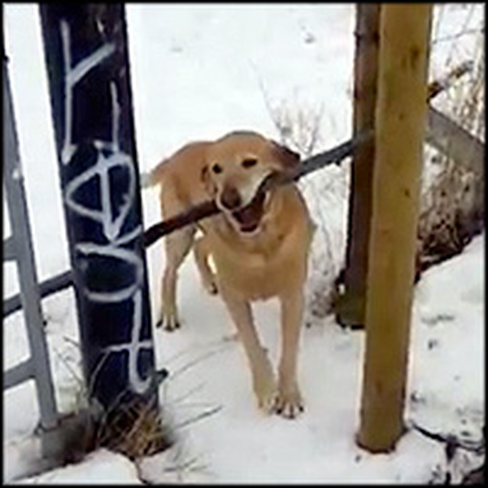 Funny Dog Will Do Anything to Get This Big Stick