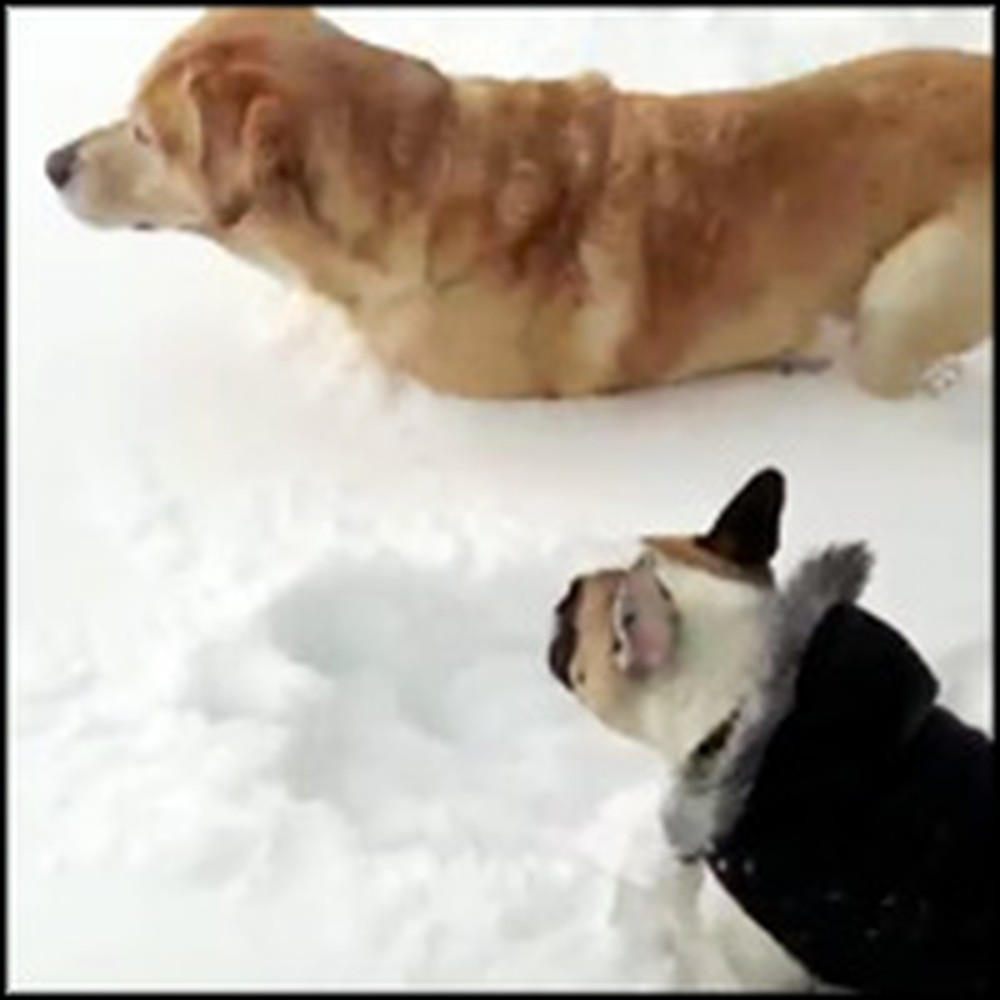 Helpful Labrador Helps Out His Friend in the Deep Snow