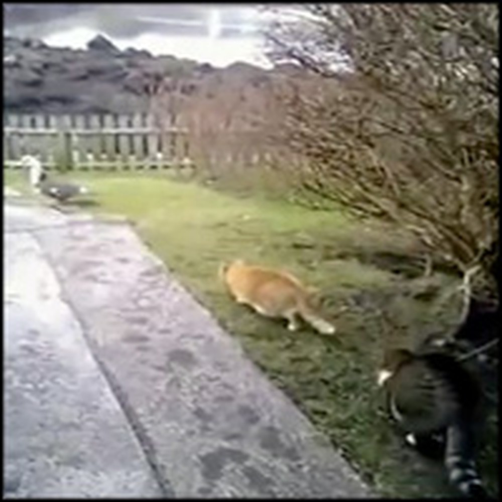 Kind Cat Protects a Duck From Being Hunted by His Friend