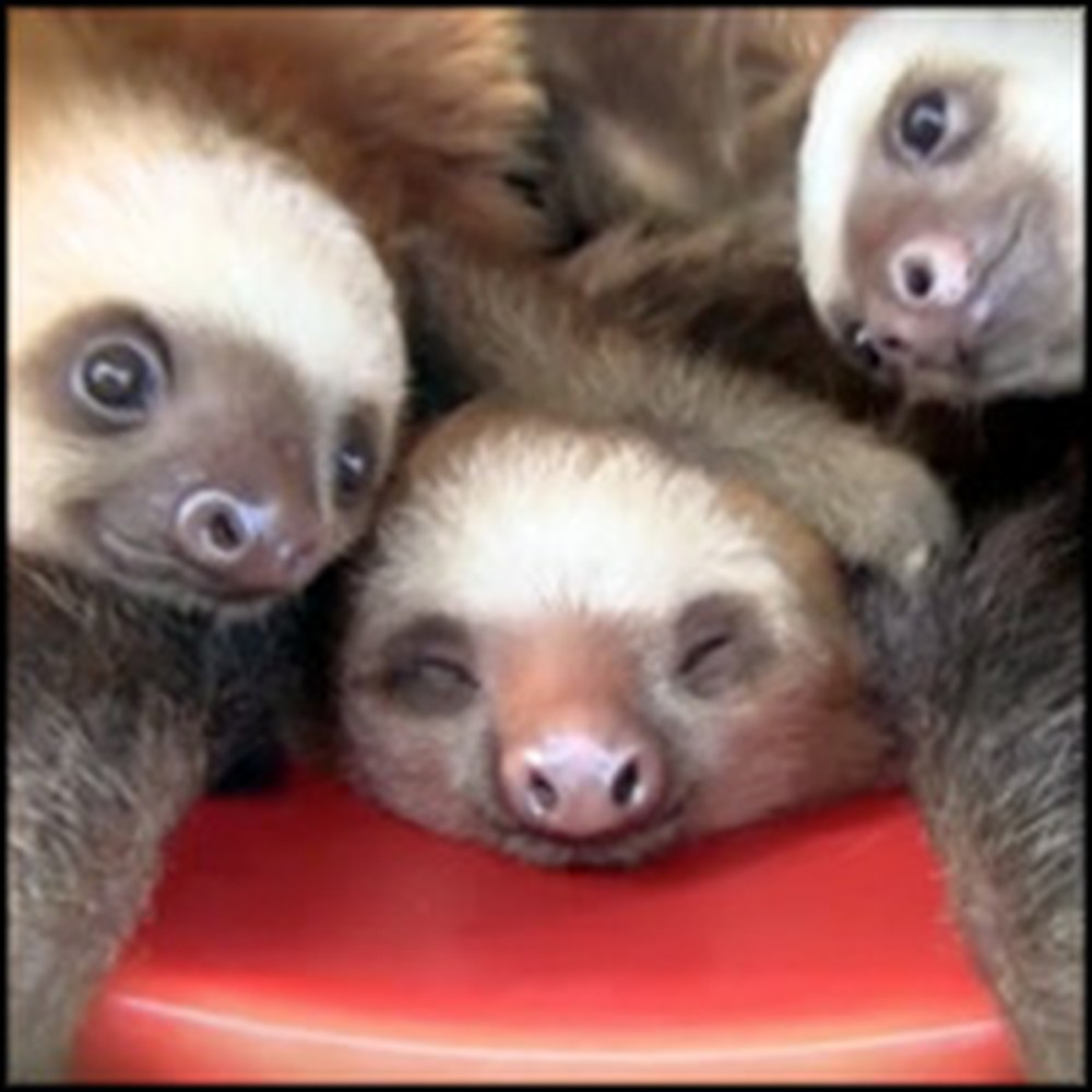 Adorable Baby Sloths in a Bucket Are Just Too Cute