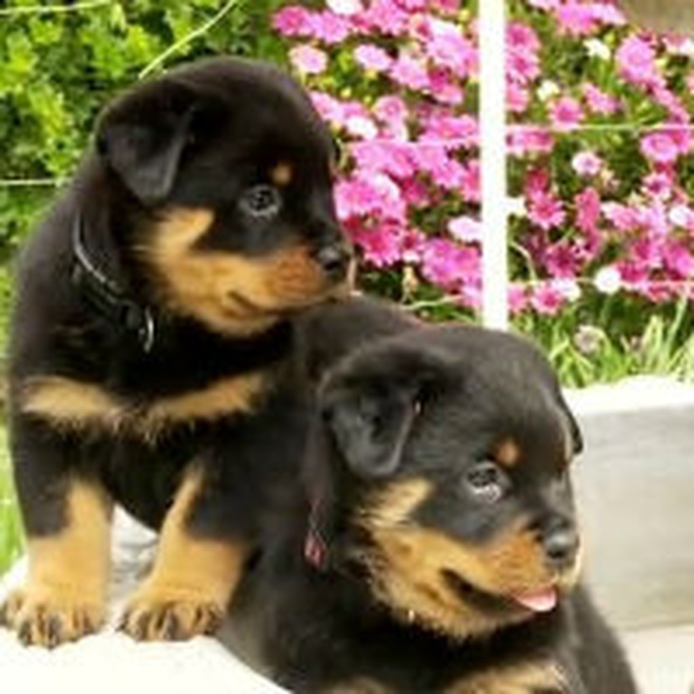 Really Cute Rottweiler Puppies Play in a Fountain