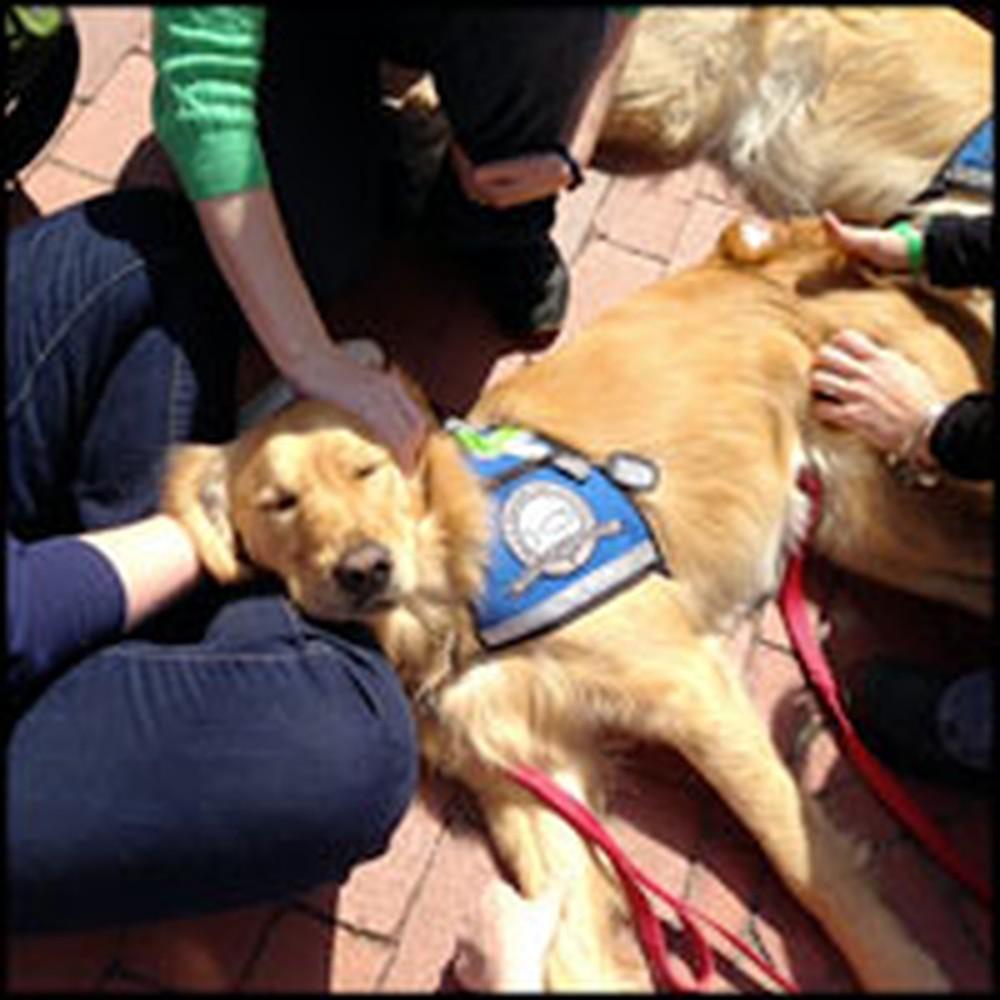 Adorable Golden Retrievers Help Comfort Survivors of Boston Bombing