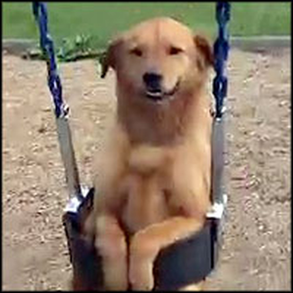 Special Dog Loves to Play on the Swing
