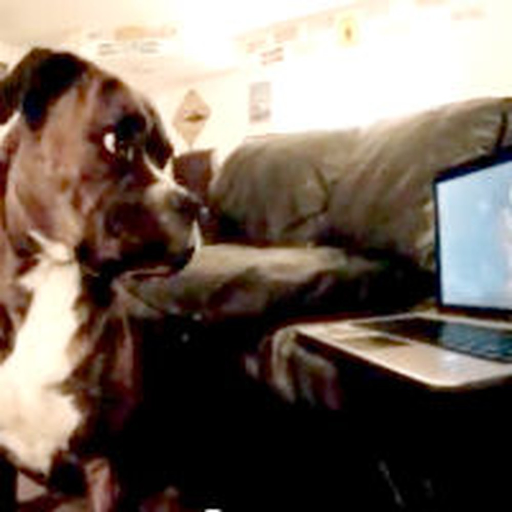 Adorable Boxer Tries to Learn How to Howl