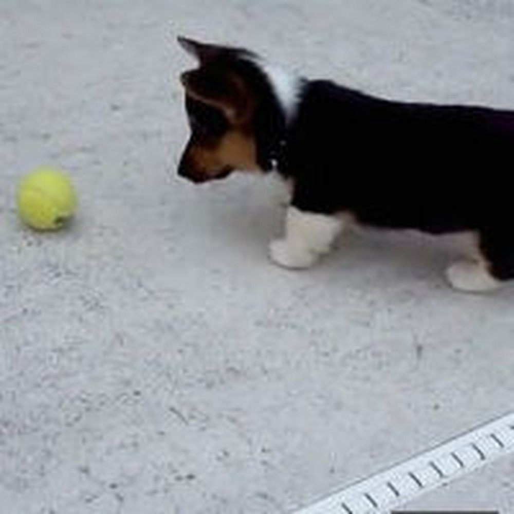 Adorable Corgi Puppy Discovers What a Tennis Ball Is - Awww!