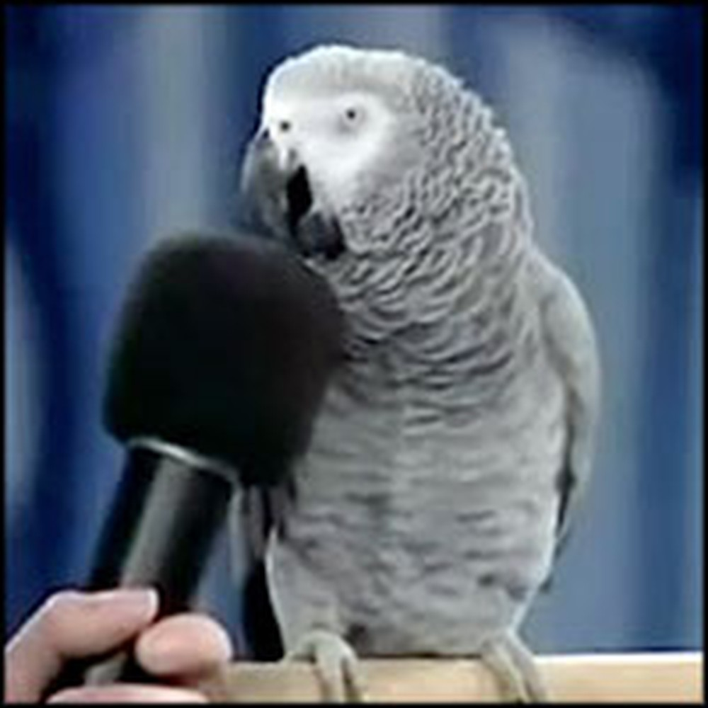 Very Intelligent Talking Parrot Will Impress You With His Tricks