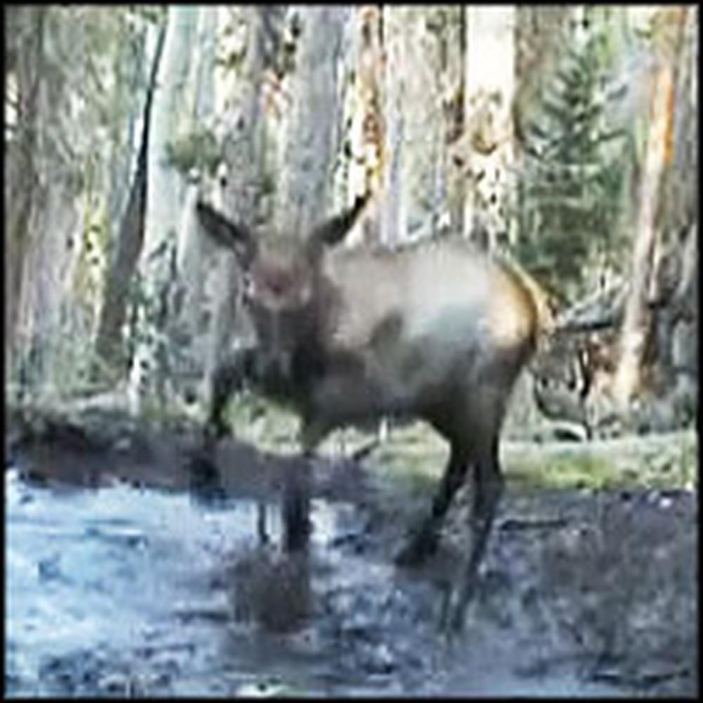 Baby Elk Splashes Joyfully in a Puddle
