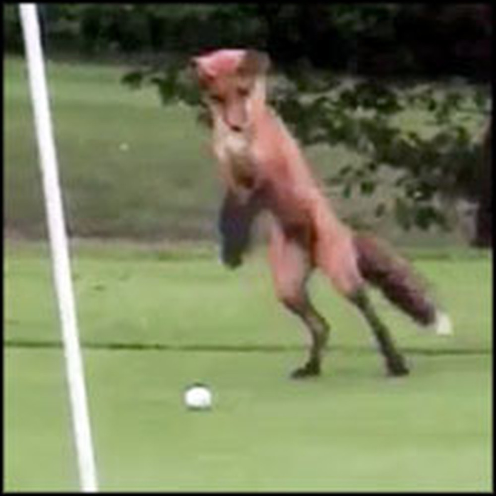 Game of Golf Gets an Adorable Interruption From a Playful Baby Fox