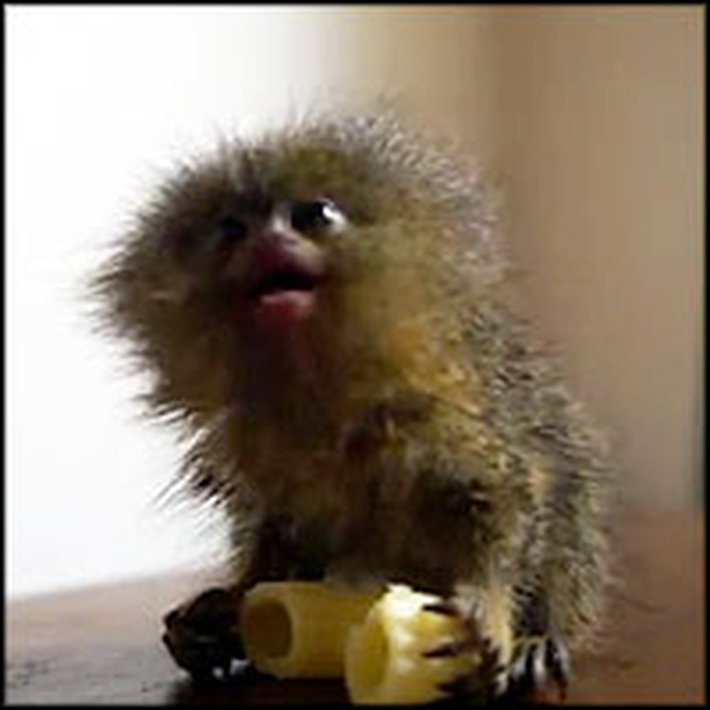 Meet the Smallest and Cutest Monkey in the World