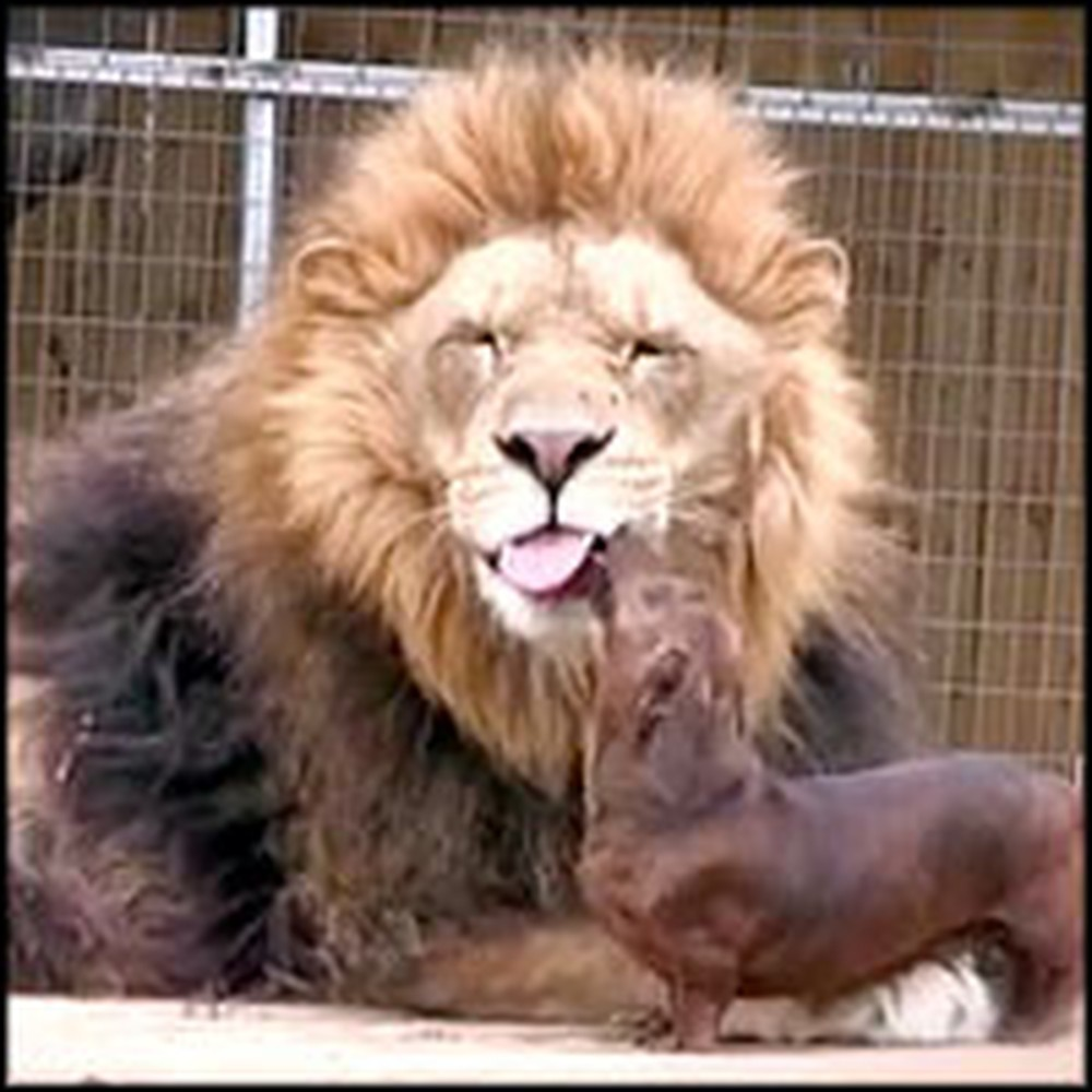 Full Grown Lion and Tiny Dog are Adorable Best Friends