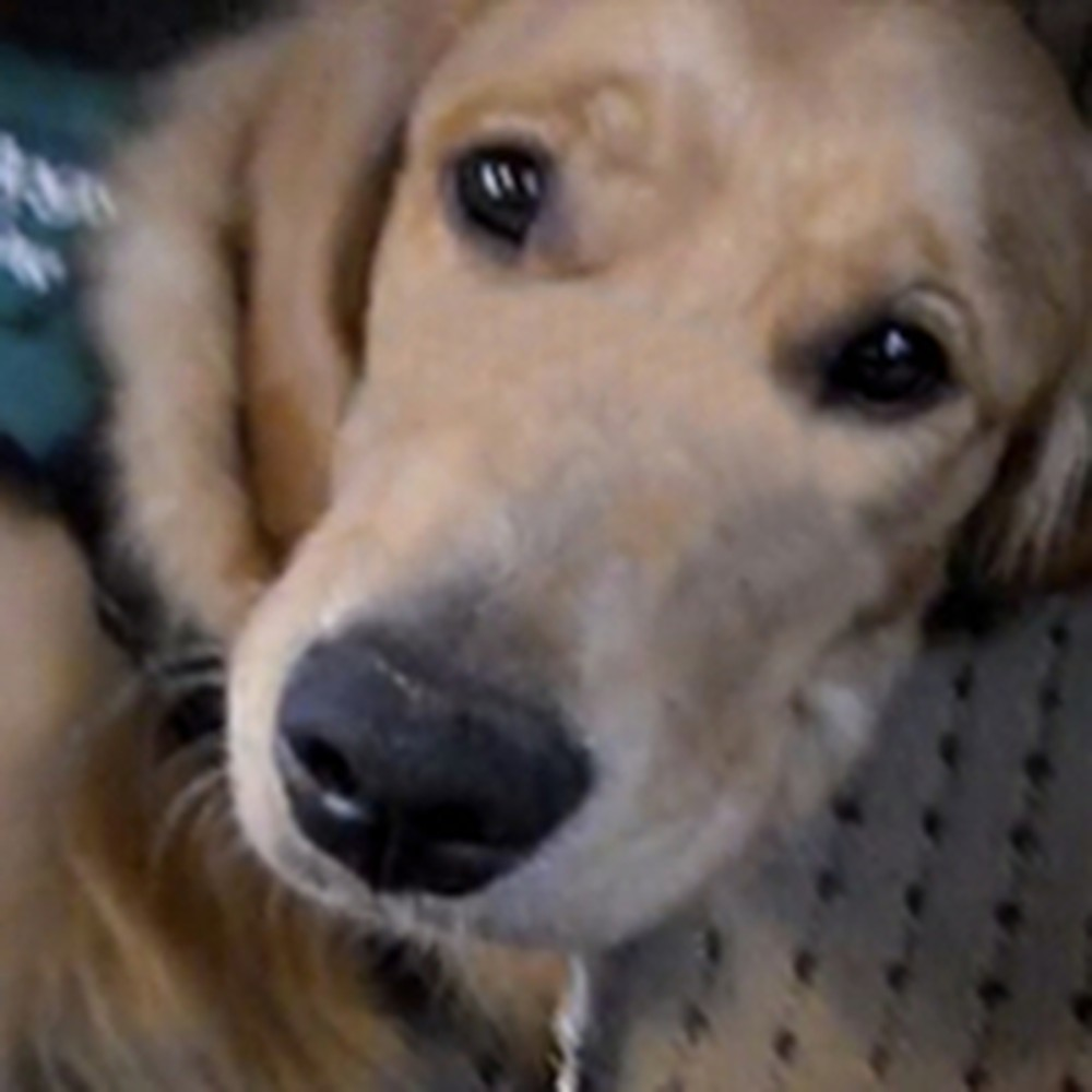 Guide Dog Makes a Joyful Noise During a Hymn at Church
