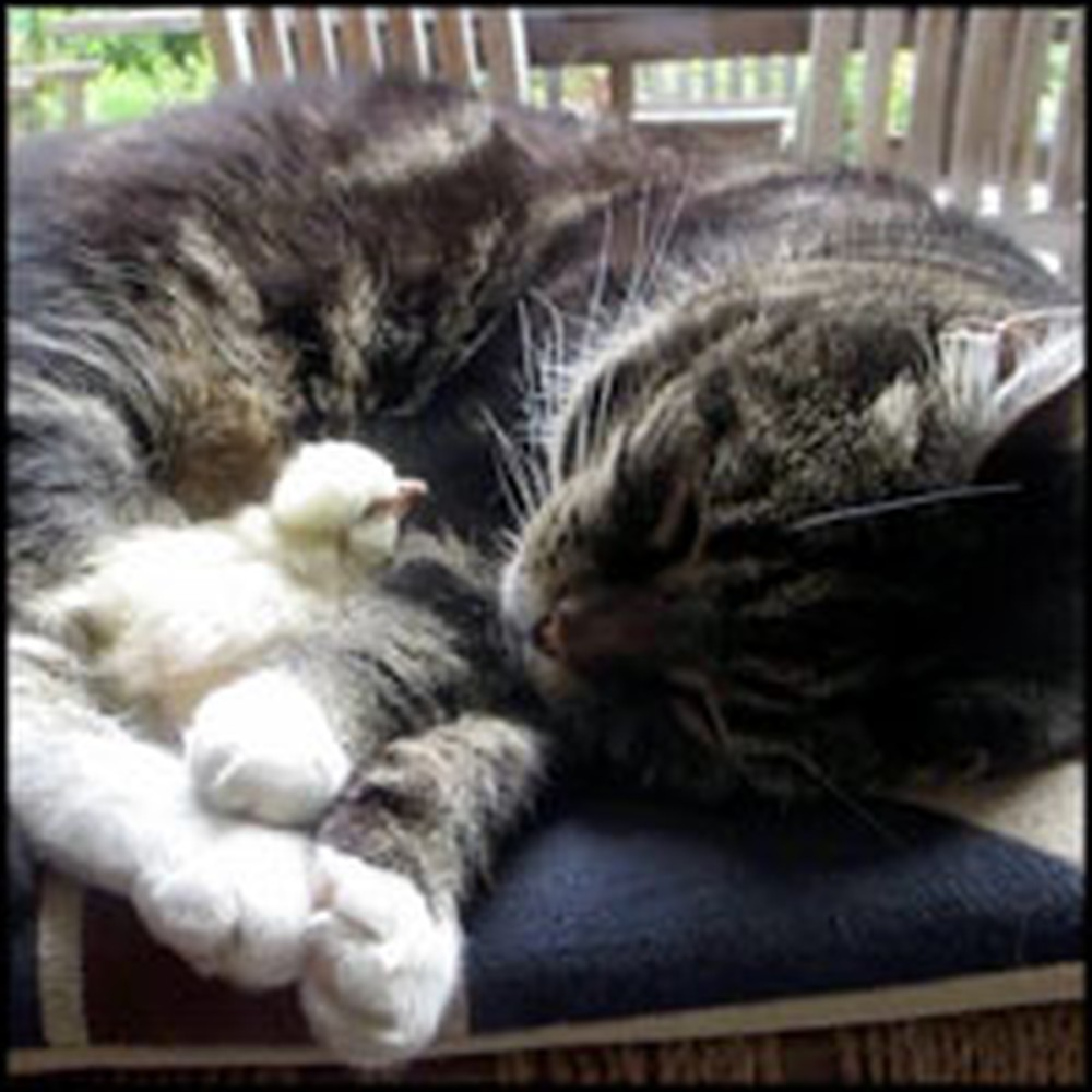 Fuzzy Chick and Sweet Cat Blissfully Nap Together