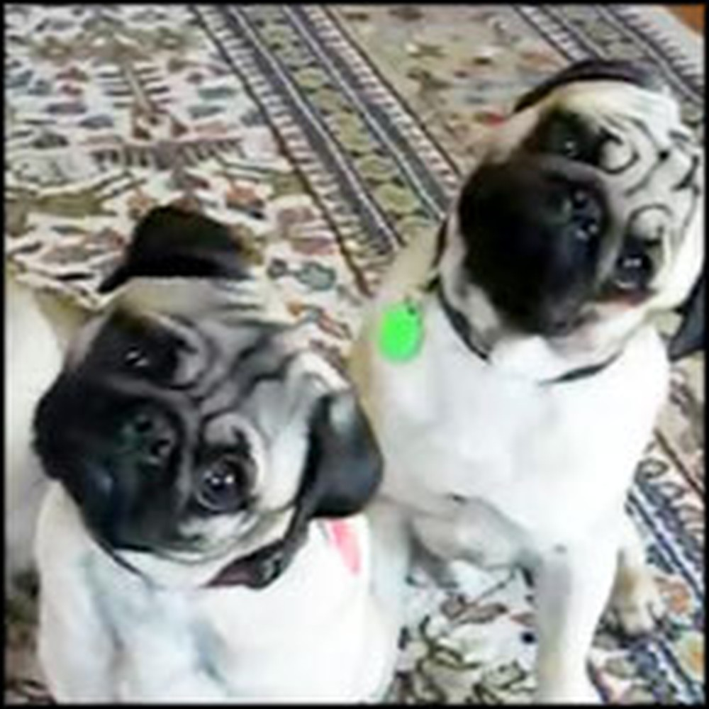 See Why These Cute Pugs Simultaneously Tilt Heads