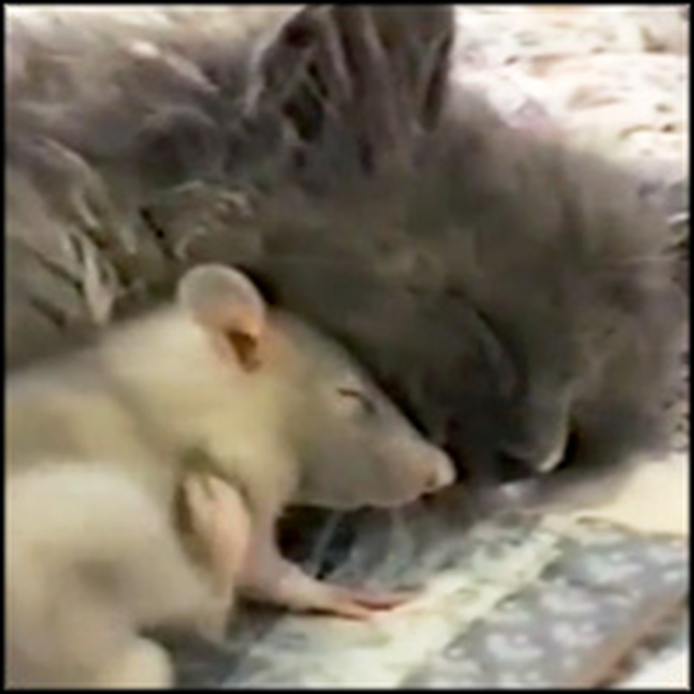 Tiny Mouse and Innocent Kitten Snuggle Sweetly Together